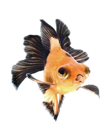 goldfish isolated on white background Stock Photo - 18621888