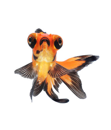 goldfish pet isolated on white background Stock Photo - 18621904