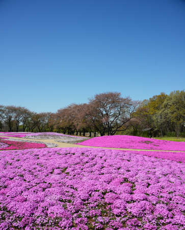 landscape with pink flowers, pink moss, shibazakura Stock Photo - 19807205