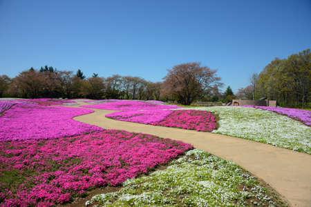 landscape with pink flowers, pink moss, shibazakura, japan, tokyo Stock Photo - 19807199