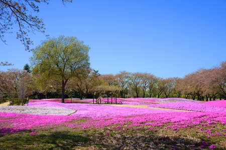 landscape with pink flowers, pink moss, shibazakura, japan, tokyo Stock Photo - 19807186