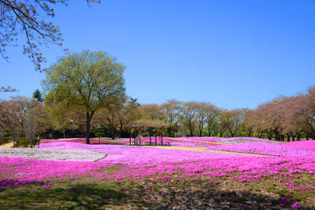landscape with pink flowers, pink moss, shibazakura, japan, tokyo Stock Photo - 19807186