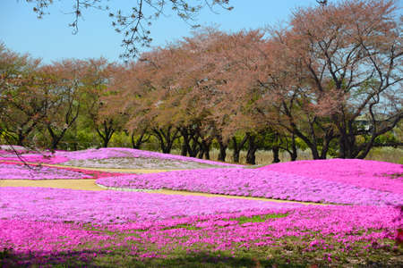 landscape with pink flowers, pink moss, shibazakura, japan, tokyo Stock Photo - 19807188
