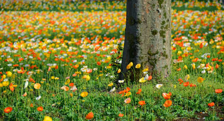 poppy flower field in spring  Stock Photo - 19807202