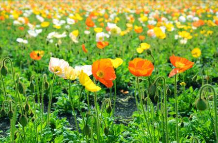 poppy flower field in spring Stock Photo - 19807198