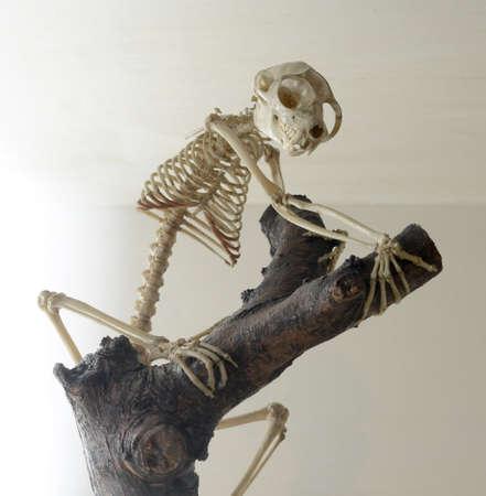 skeleton of loris Stock Photo - 19807193