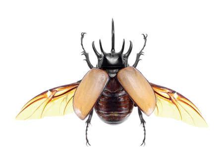 5-Horned Rhinoceros Beetle, Eupatorus gracilicornis beetle isolated on white Stock Photo - 21020150