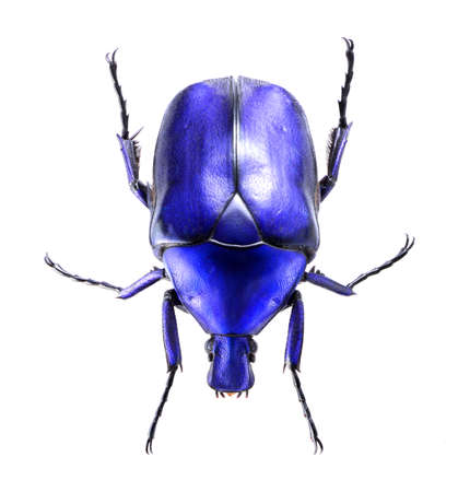 jewelry beetle, Torynorrhina flammea isolated on white background Stock Photo - 21020151