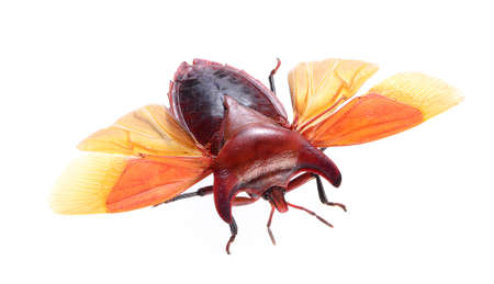 bug isolated on white background , eurypleura bicornis Stock Photo - 21020152