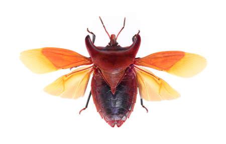 bug isolated on white background , eurypleura bicornis Stock Photo - 21020153