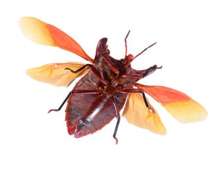 bug isoliert auf weißem Hintergrund, eurypleura bicornis