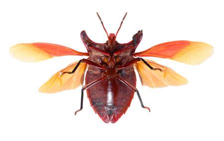bug isolated on white background , eurypleura bicornis Stock Photo - 21020155