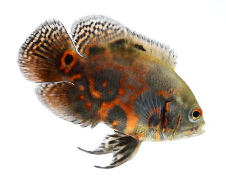 astronotus: oscar fish isolated on white background