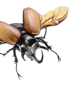 5-Horned Rhinoceros Beetle, Eupatorus gracilicornis beetle isolated on white Stock Photo - 21020167