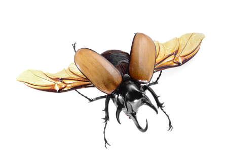 5-Horned Rhinoceros Beetle, Eupatorus gracilicornis beetle isolated on white Stock Photo - 21020168