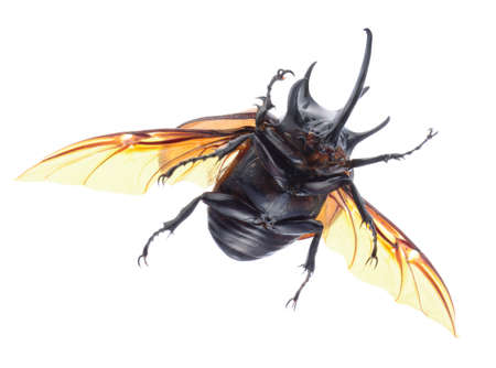 5-Horned Rhinoceros Beetle, Eupatorus gracilicornis beetle isolated on white Stock Photo - 21020170