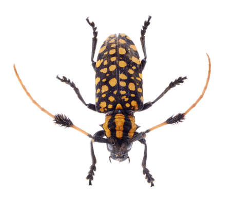 Common Tuft-bearing Longhorn beetle, Aristobia approximator, CERAMBYCIDAE isolated on white background photo