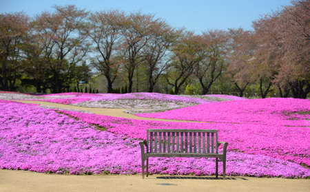 landscape with pink flowers, pink moss, shibazakura park photo