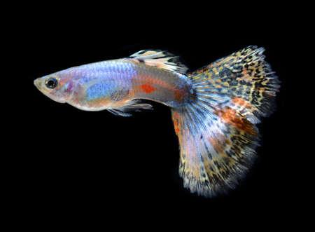 pez pecera: peces guppy mascota aisladas sobre fondo negro