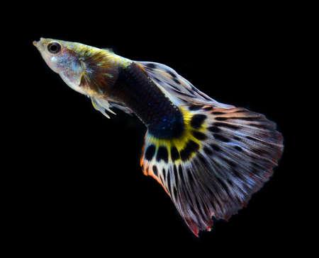 guppy: fish guppy pet isolated on black background Stock Photo