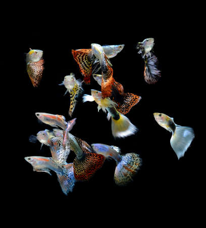 fish guppy pet isolated on black background photo
