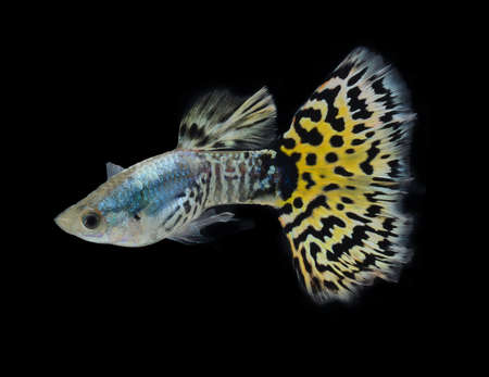tropical fresh water fish: fish guppy pet isolated on black background Stock Photo