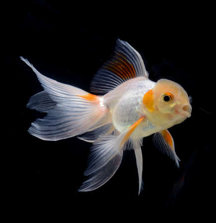 fancy goldfish isolated on black background Stock Photo - 21097290