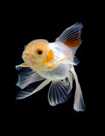 fancy goldfish isolated on black background Stock Photo - 21131223