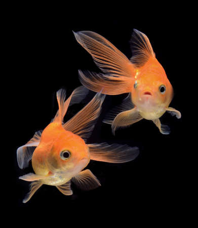 fancy goldfish isolated on black background Stock Photo - 21131224