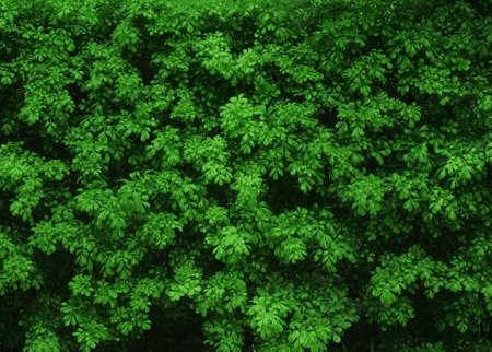 natural green bush texture Stock Photo - 22975035