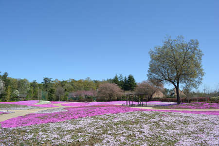 landscape with pink flowers, pink moss, shibazakura Stock Photo - 22975055