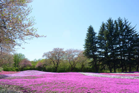 landscape with pink flowers, pink moss, shibazakura Stock Photo - 22975058