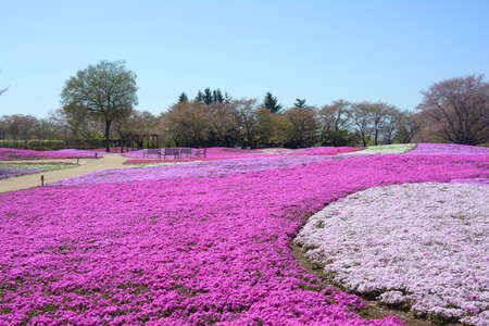 landscape with pink flowers, pink moss, shibazakura Stock Photo - 22975067