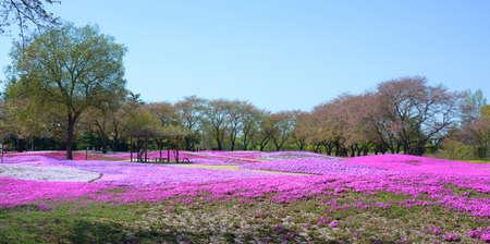 landscape with pink flowers, pink moss, shibazakura Stock Photo - 22975068