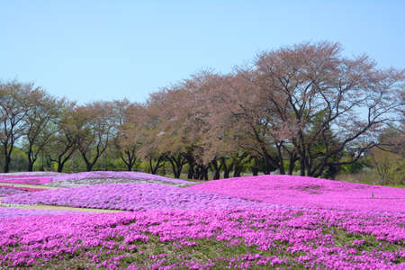 landscape with pink flowers, pink moss, shibazakura Stock Photo - 22975069