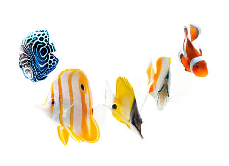 clown tang: reef fish, marine fish isolated on white background