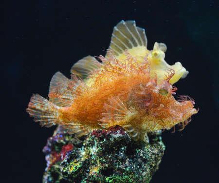 scorpionfish: Rhinopias Scorpionfish reef fish , marine fish