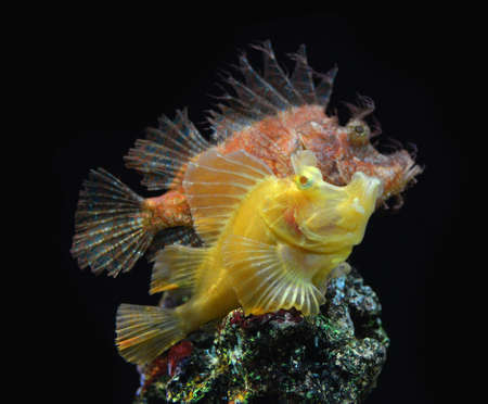 Rhinopias Scorpionfish reef fish , marine fish Stock Photo - 22975078