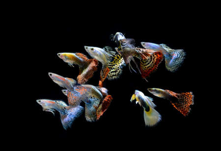 fish shop: fish guppy pet isolated on black background Stock Photo