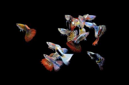 guppy fish: fish guppy pet isolated on black background Stock Photo
