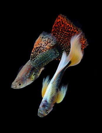 fish guppy pet isolated on black background Stock Photo - 22378745