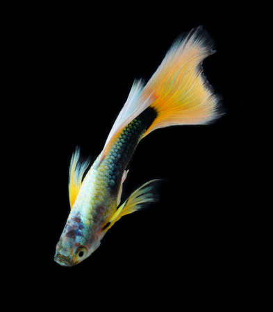 fish guppy pet isolated on black background Stock Photo - 22378746