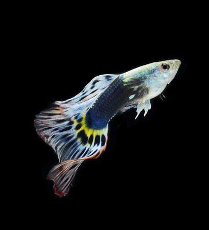 fish guppy pet isolated on black background Stock Photo - 22378748