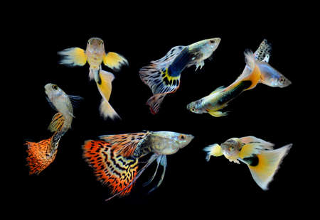 fish guppy pet isolated on black background Stock Photo - 22378751