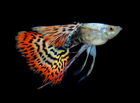 fish guppy pet isolated on black background Stock Photo - 22378752