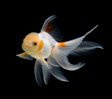 fancy goldfish isolated on black background photo