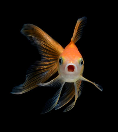 fancy goldfish isolated on black background
