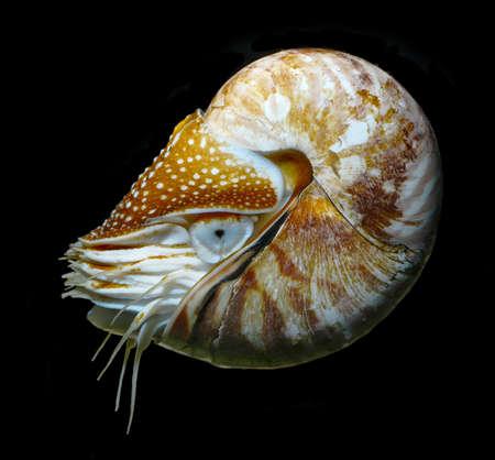 nautilus swimming, alive on black background studio shot Stock Photo - 22975090