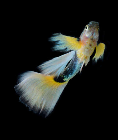 fish guppy pet isolated on black background Stock Photo - 22378804