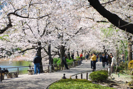 walk in the park: TOKYO, JAPAN - APRIL 3 : Ueno Park in spring season with Cherry Blossom taken on April 3, 2007 Editorial